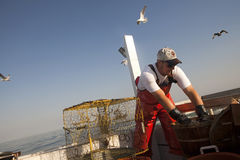 Fisherman sorting out the crabs. A fisherman sorting out the crabs while gulls fly overhead Royalty Free Stock Photo