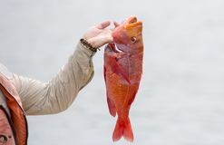 Fisherman shows fresh caught fish Royalty Free Stock Images