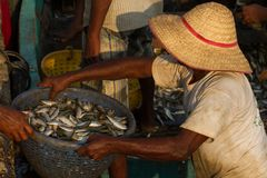 A fisherman in a straw hat passes a basket of fish.Unloading a fishing boat. Fishing dock in southern India Royalty Free Stock Images