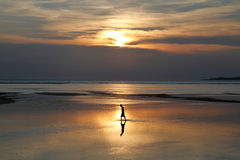 Fisherman in sunset. A fisherman walking in shallow waters during sunset on a tropical island royalty free stock image