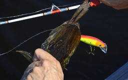 Fisherman taking the bait off the fish mouth - Nordic pike caught using rod with reel Royalty Free Stock Photography