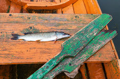 Fisherman trophy - Caught pike lies in the wooden boat Stock Photography