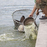 Fisherman is trying to catch Siamese giant carp fish. Stock Photos