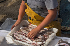 Fisherman unloading catch. Fisherman on boat unloading catch of fresh caught fish Stock Photo