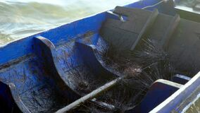 A fisherman unloads sea urchins from a boat into a box. Dangerous poisonous sea urchins.