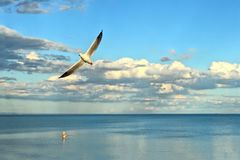 Fisherman wading in ocean while seagull soars past. Fisherman wading and fishing in ocean late in the day as seagull soars in sky foreground Royalty Free Stock Image
