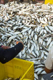Fisherman workers are sorting fish Stock Image