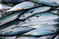 Fishermans catch of mackerel Royalty Free Stock Image