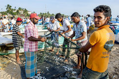 Fishermen on Arugam Bay beach collect their catch from their nets after returning from sea in the early morning. Royalty Free Stock Photos