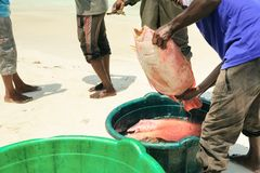 Fishermen on beach divide catch fresh fish red snapper. Fishermen on the beach divide catch fresh fish red snapper Royalty Free Stock Photo