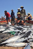 Fishermen are collecting tuna fish caught by trawl nets in the sea of the Nha Trang bay Stock Image