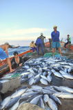 Fishermen are collecting tuna fish caught by trawl nets in the sea of the Nha Trang bay Stock Photography