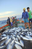 Fishermen are collecting tuna fish caught by trawl nets in the sea of the Nha Trang bay Royalty Free Stock Photography