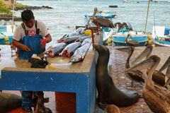Fishermen dock in Puerto Ayora, Santa Cruz. GALAPAGOS, ECUADOR - MAY 1: Man selling fish in fishermen dock stall with pelicans and other animals waiting for a Stock Photo