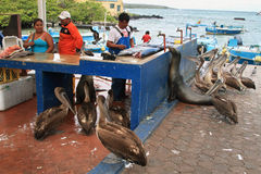 Fishermen dock in Puerto Ayora, Santa Cruz. GALAPAGOS, ECUADOR - MAY 1: people selling fish in fishermen dock stall with pelicans and other animals waiting for a Royalty Free Stock Photography