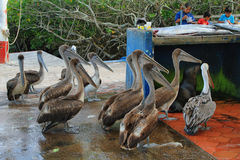 Fishermen dock in Puerto Ayora, Santa Cruz. GALAPAGOS, ECUADOR - MAY 1: Fishermen dock stall with pelicans and other animals waiting for a bite on May 1, 2014 in Royalty Free Stock Photo