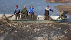 Fishermen Harvest Carp Ahead of Christmas Royalty Free Stock Images