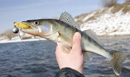 Fishermen holding walleye. With bait in its mouth Stock Photo