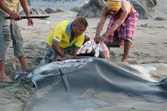 Fishermen from Indonesia,Lamalera. Fishermen cut 200 kilogram manta ray. The village of Lamalera on the Indonesian island of Lembata is the last place on earth stock photos