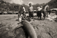 Fishermen,Lamalera. Daily catch of fishermen Lamalera is hammerhead and shark. The village of Lamalera on the Indonesian island of Lembata is the last place on royalty free stock photography