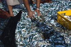 Fishermen in Liwa, Oman. A fresh catch of the day, local fishermen in Liwa, Oman sorting out the catch Stock Image