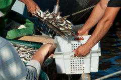Fishermen pour the fish in the box Stock Photo