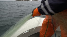 Fishermen take out the network with the catch in the Baltic sea. stock footage