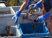 Fishermen throwing live lobsters into bins. Fisherman are throwing live lobsters into bins while sorting them on their boat to be sold at market stock photo