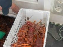A fishermen unloads live southern rock lobster in tasmania. Australia stock images