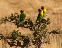 Fishers lovebirds Royalty Free Stock Photo
