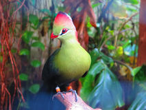 Fishers Turaco Bird. Closeup of Fishers Turaco Bird in the Living Rain forest in Berkshire, England Stock Photos