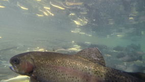 A fishery for Trout. Fish Farm for Trout .Life Fish under Water. Lot of Fish Swims in the Pool stock video footage