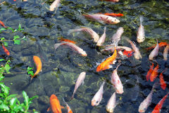 Fishes. A lot of fishes swimming in water Royalty Free Stock Photo