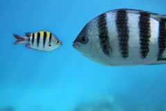 Fishes. Two beautiful fishes under water royalty free stock photos