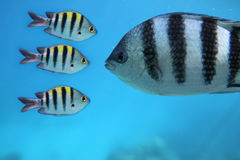 Fishes. Four beautiful fishes under water royalty free stock photography