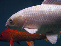 Fishes. In an aquarium, slight blurring due to fish movement and slow shutter speed royalty free stock photo