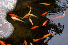 Fishes. In a lake Royalty Free Stock Photography