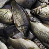 Fishes. Fresh carps for sale at a morning market Royalty Free Stock Image