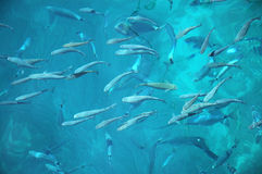 Fishes in the Adriatic Sea. A lot of fishes in the blue Adriatic Sea near island Hvar in Croatia. Photo taken from the surface royalty free stock photography