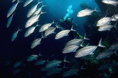 Fishes And Diver. Stock Image