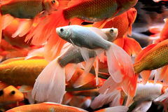 Fishes in aquarium Royalty Free Stock Image