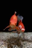 Fishes in aquarium Stock Photography