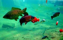 Fishes in aquarium. Pictire of the fishes in big aquarium Royalty Free Stock Photo