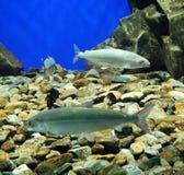 Fishes in an aquarium. Three fishes in an aquarium Stock Image