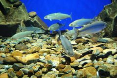 Fishes in an aquarium, close up. A lot of fishes in an aquarium, close up Stock Image