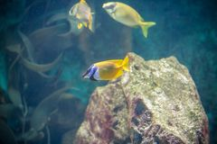 Fishes in aquarium Royalty Free Stock Photo