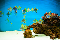Fishes in aquarium Stock Image