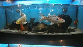 Fishes in aquarium. Fishes floating in aquarium water stock video