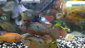 Fishes in aquarium. Group of hungry fishes in aquarium stock video
