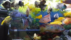 Fishes in aquarium. Group of hungry fishes in aquarium stock video footage